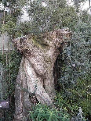 推定樹齢500年のオリーブ