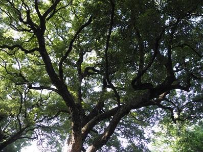 皇居のお庭の楠