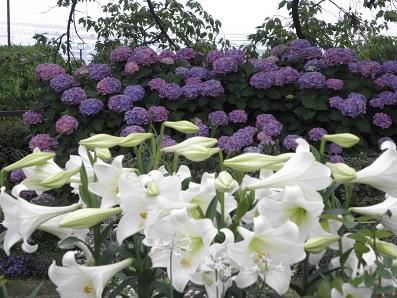 白と紫 ユリとアジサイ