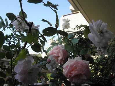 咲ききったバラ