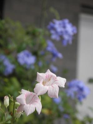 今朝の凌霄花とルリマツリ
