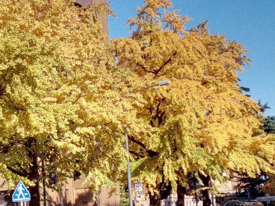 日本大通りの銀杏並木2016