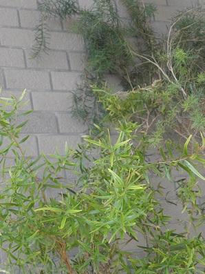ベランダのティートリー2種