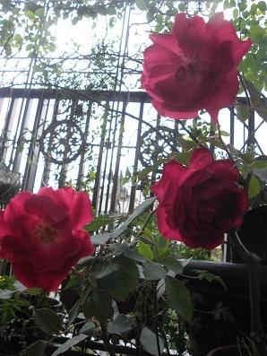 冬のベランダに咲くバラ