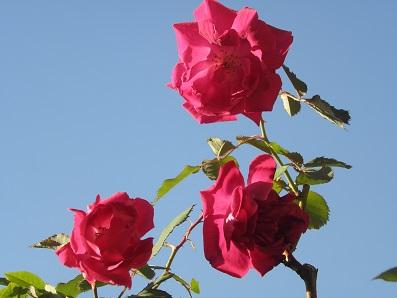 冬の紅バラ