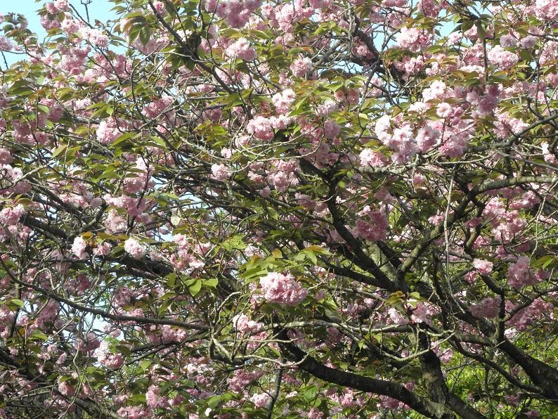 4月23日江の島の桜