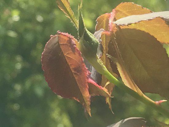 アロマテラピースクール・緑のとびら アロマライフコーチング Rosey life