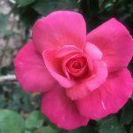 #アロマテラピースクール #緑のとびら #アロマライフコーチング #Rosypath #ヒーリング #ローズセラピー #オンラインレッスン #魔法の庭のヒーリング #プランツカウンセリングヒーラー #癒し #ボタニカルカウンセリング